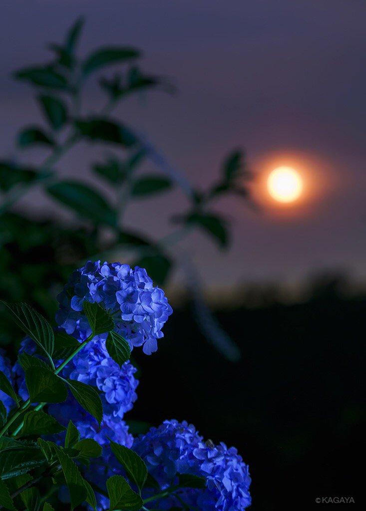 昇る居待月と紫陽花。 (昨日、埼玉県にて撮影) 今日もお疲れさまでした。明日も穏やかな一日になりますように。