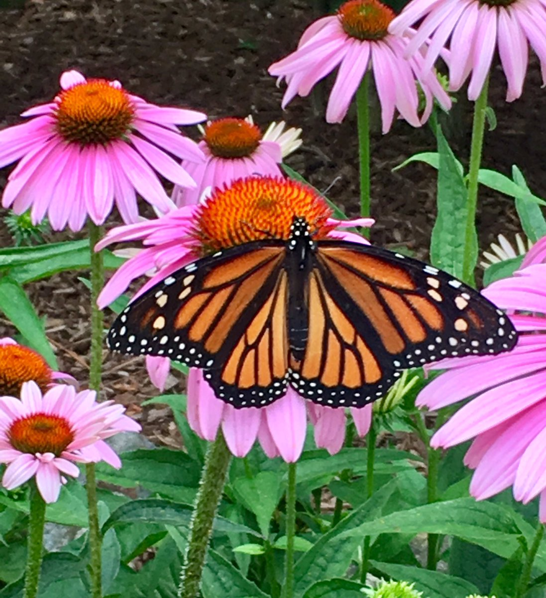 1st Monarch sighting! Hope she finds the native milkweed in the backyard #gardenchat #monarch #butterfly https://t.co/Y035xH05EK