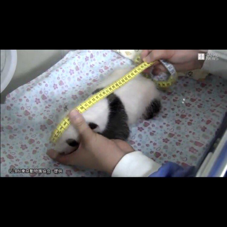 それにしてもパンダの赤ちゃんの身長の測り方が可愛すぎです(さきほどのニュース動画から抜粋) https://t.co/1raThxYVI0
