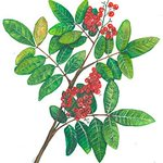 .@QuaveEthnobot, Emory ethnobotanist: Look at Brazilian peppertree to disarm antibiotic-resistant staph bacteria https://t.co/QHE6J7z4bZ