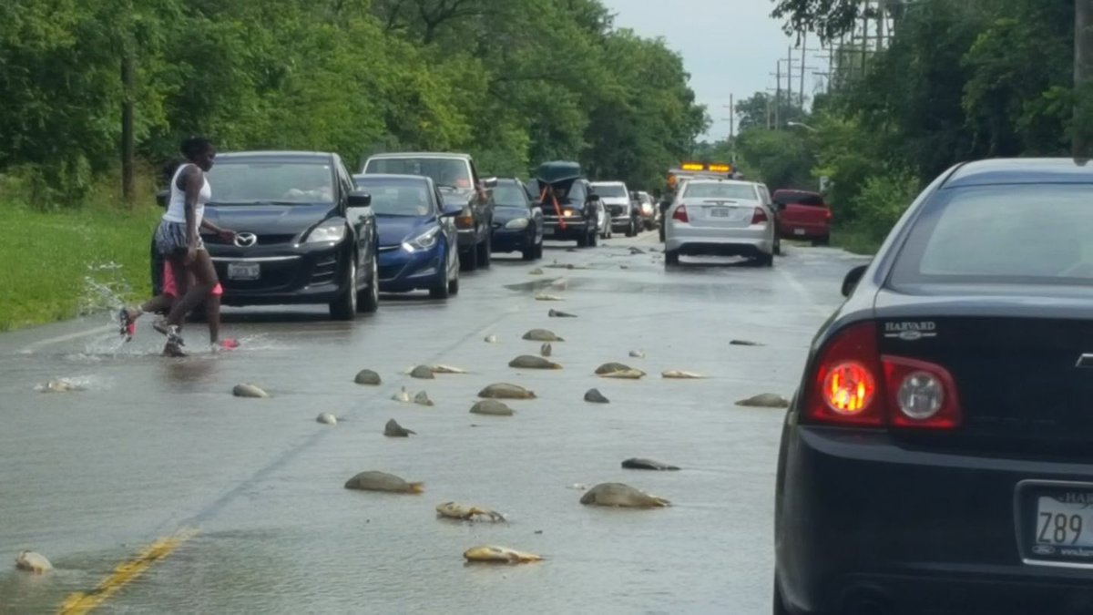 Surreal scene out of the northern suburbs today. Those are carp washing over Fairfield Rd in Lake Cnty.