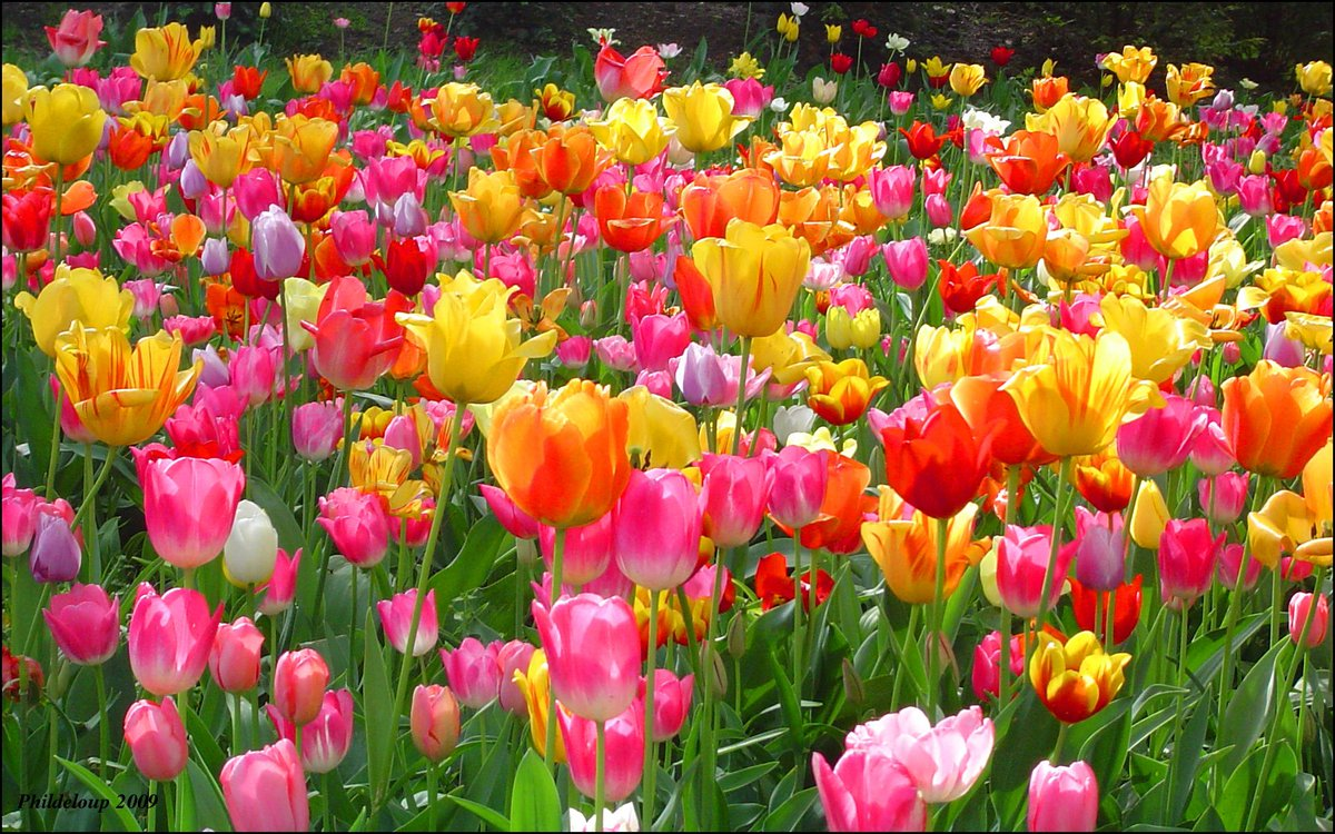 World love flowers on twitter loveflowers most beautiful world love flowers on twitter loveflowers most beautiful flowers in the world you certainly might have seen tulips or even had them set as your izmirmasajfo