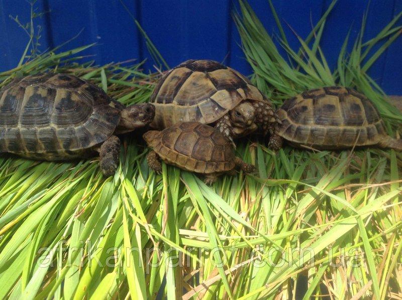 Сухопутная черепаха чем кормить