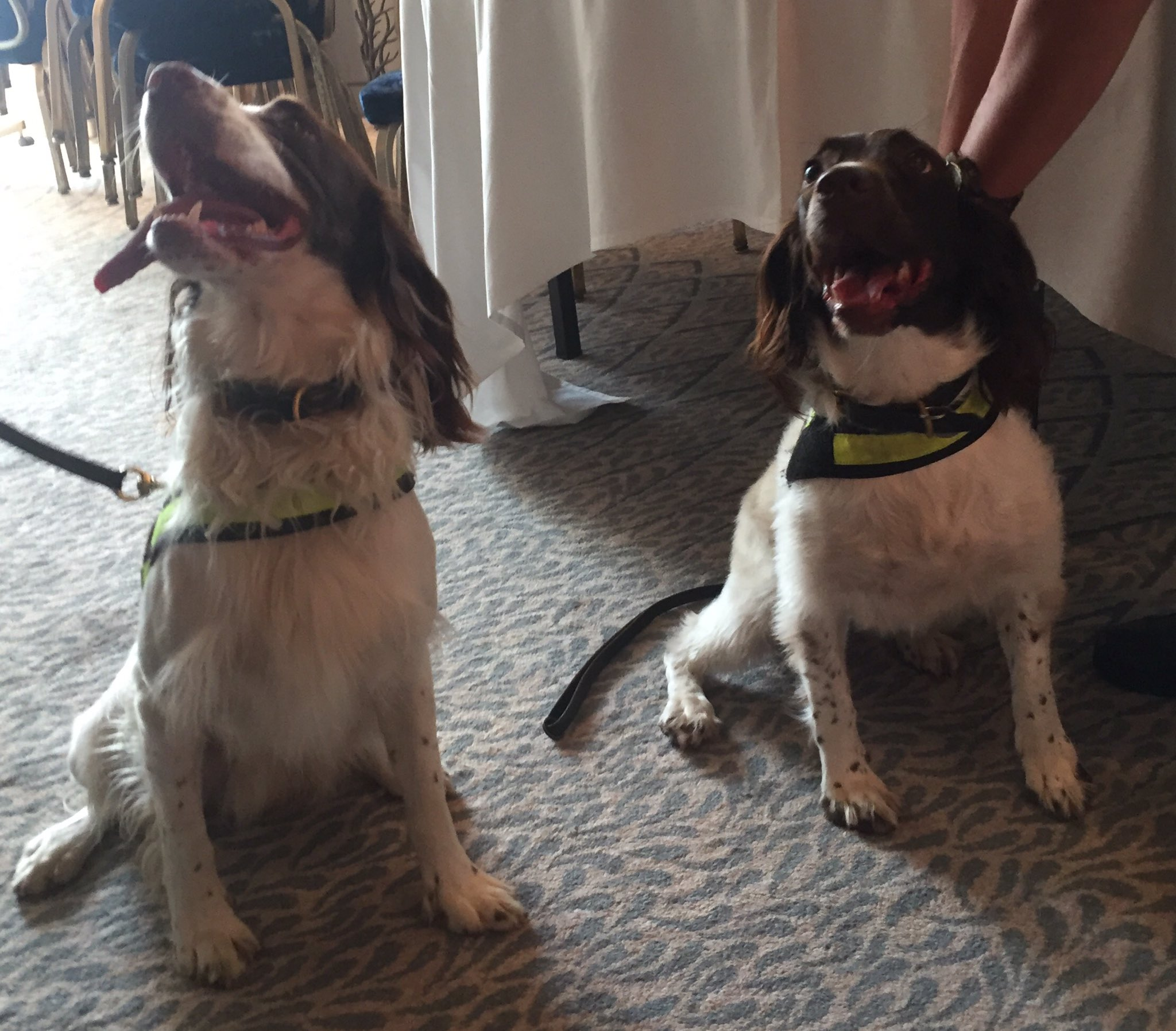 Excitable @metpoliceuk dogs Ellie & Rocco are helping ensure everything is safe ahead of the #PoliceBravery Awards https://t.co/TNRygNncf3