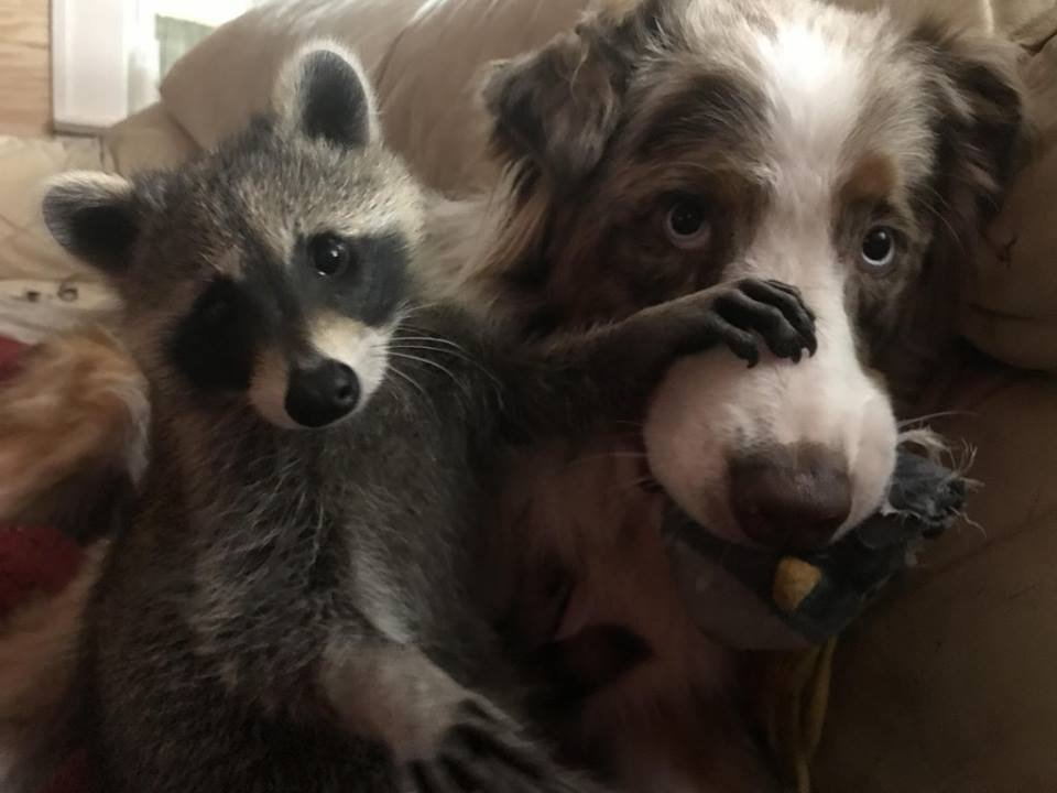 Image result for baby raccoon with dog