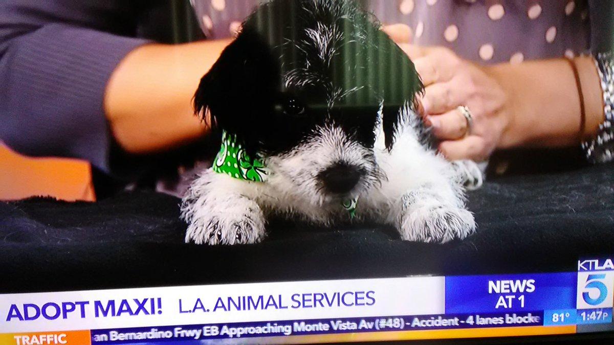 ICYMI: The #KTLA #PetOfTheWeek - Maxi the dog  #PetsOnSet #AdoptDontShop<br>http://pic.twitter.com/1KDLiiJTVg