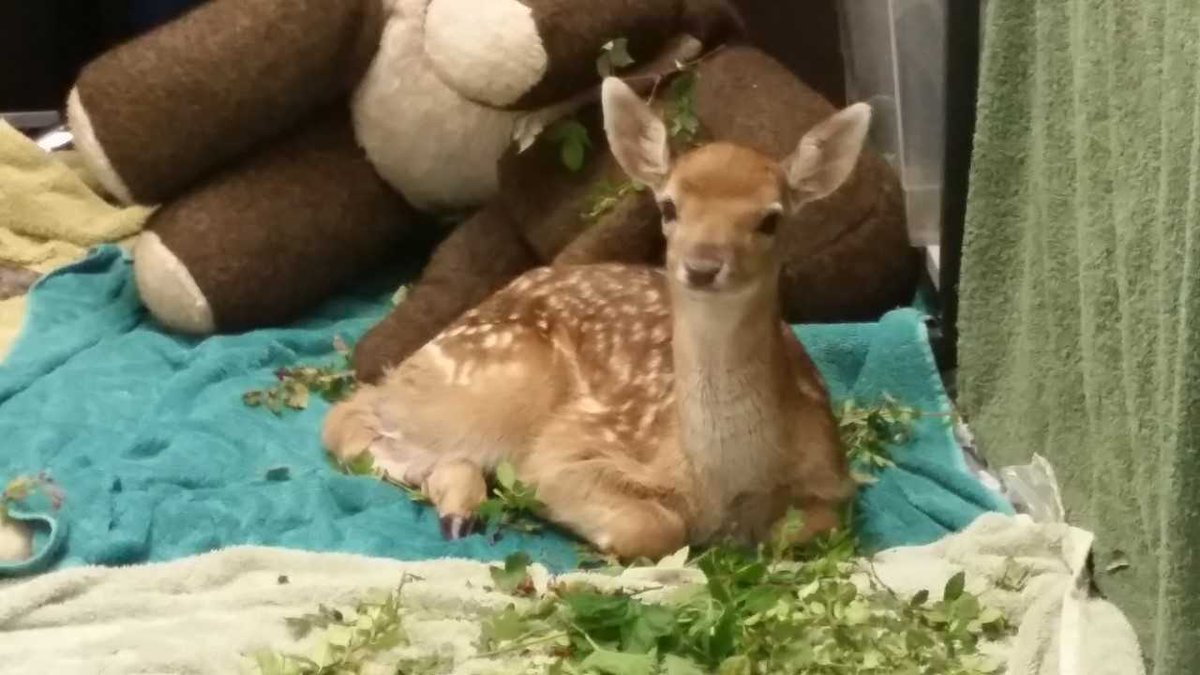 test Twitter Media - A few of our young fawns under our care at the moment each with their own sad story to tell ! #wildlife #ohdeer https://t.co/kHlIFjHeH6