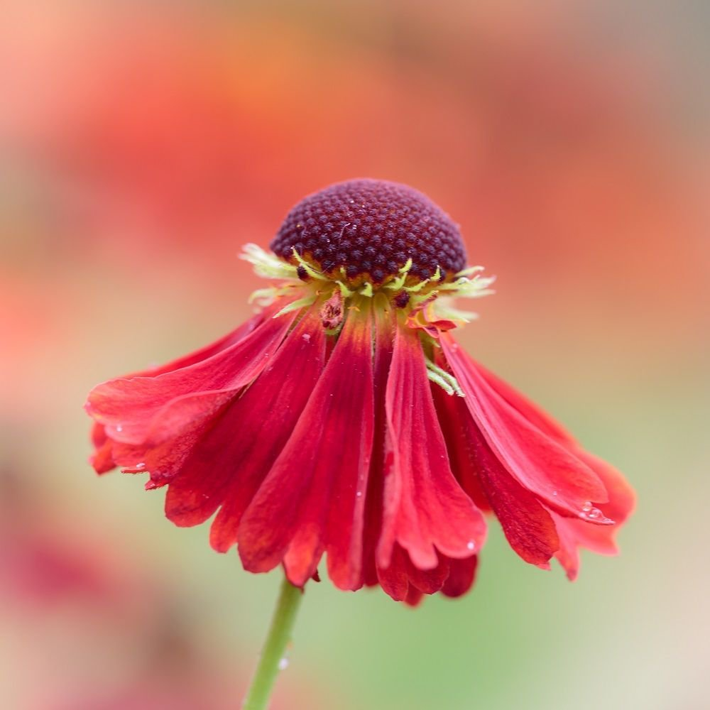 Exbury Gardens On Twitter Helenium Have Daisy Like Flowers In