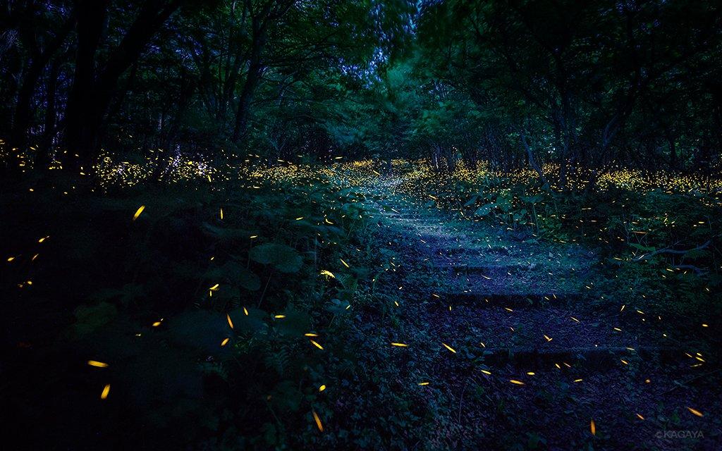森の中に一歩入ると、そこはヒメボタルの楽園でした。 1、月光に浮かぶ道と乱舞するヒメボタル 2、紫陽花と戯れる光たち (約10分の間にホタルが点滅しながら残した軌跡が全部写っています。一度に見える光はもっとずっと少ないです。昨日岩手県にて撮影)