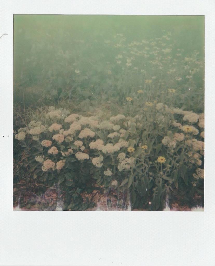 Having a garden is like living inside a dream. // #thebmorecreatives #polaroid #dsfloral  http:// ift.tt/2trhGqW  &nbsp;  <br>http://pic.twitter.com/XBHwTGNgeU