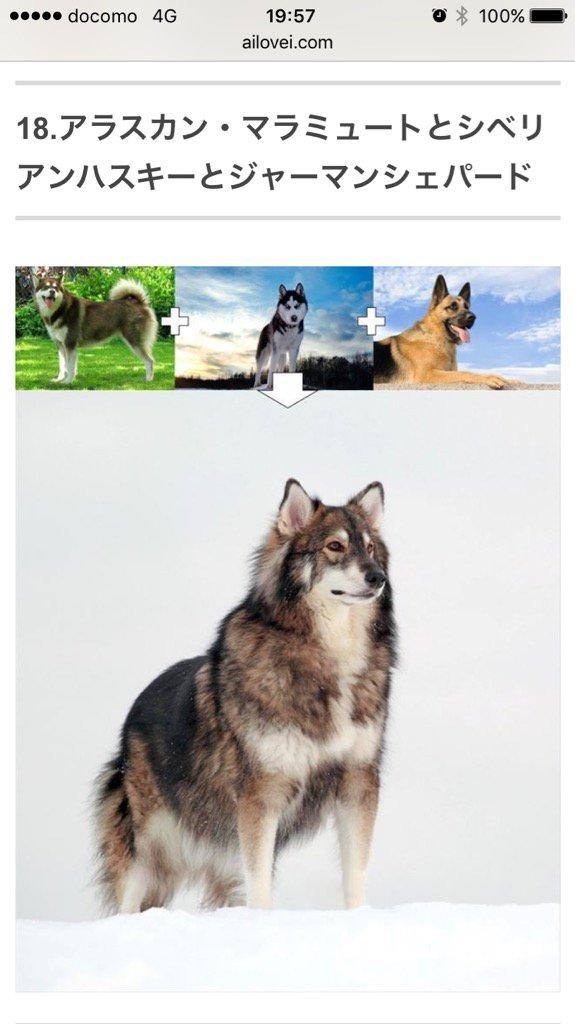 昨日ミックス犬の交配例見てたんだけど、余りにもイケメン過ぎて変な声出たので、皆にも変な声出して欲しい。