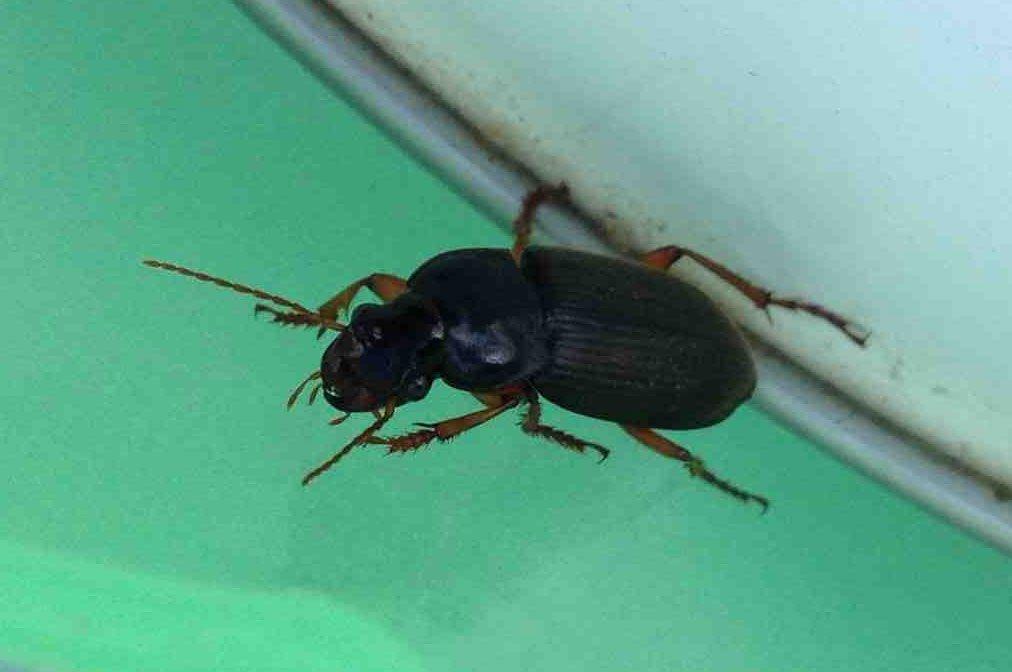 черные жуки в доме ночью фото они уже