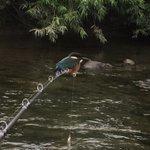 釣りを楽しんでたらまさかのカワセミが釣竿にとまった!