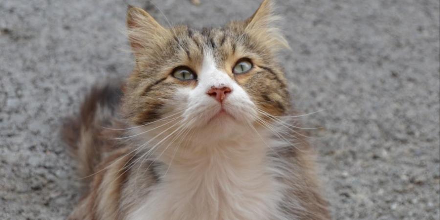 L'affaire du chat Chevelu, torturé à mort, enfin élucidée https://t.co/2VFhDBUYQe