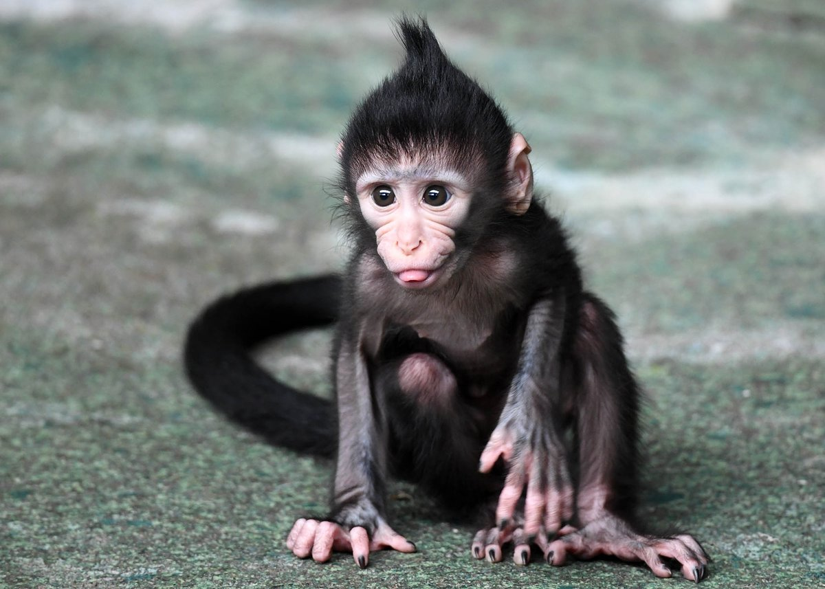monkey mangabey
