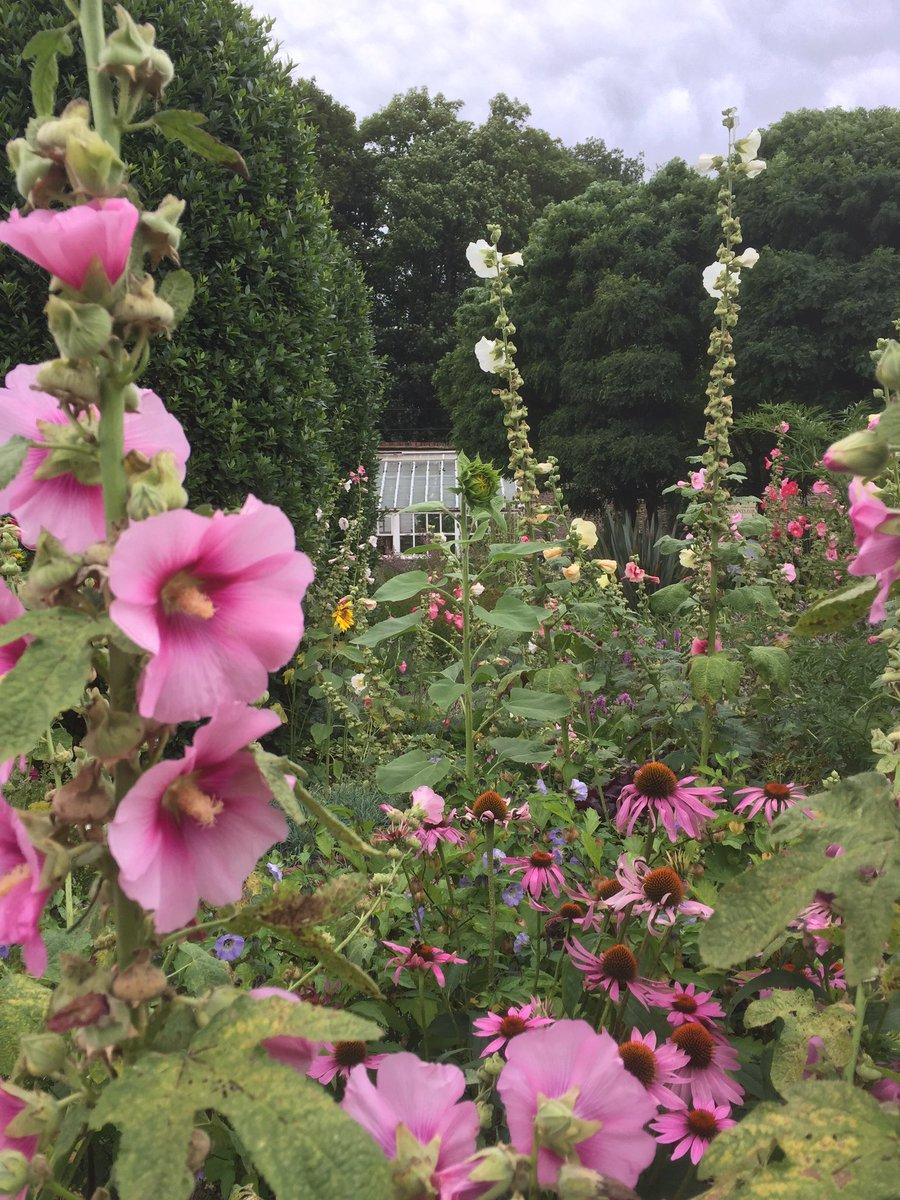 RT @annie_berriman Towering hollyhocks in the walled garden @LoseleyPark #hollyhocks #colour #Flowers #walledgarden @LoseleyGdnShow