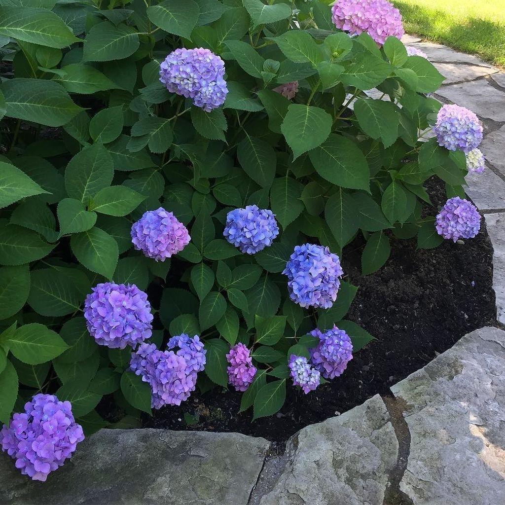 Flower Power  #hydrangea #estrie #julielapie  http:// ift.tt/2va4sUg  &nbsp;  <br>http://pic.twitter.com/lwxdIiyS94