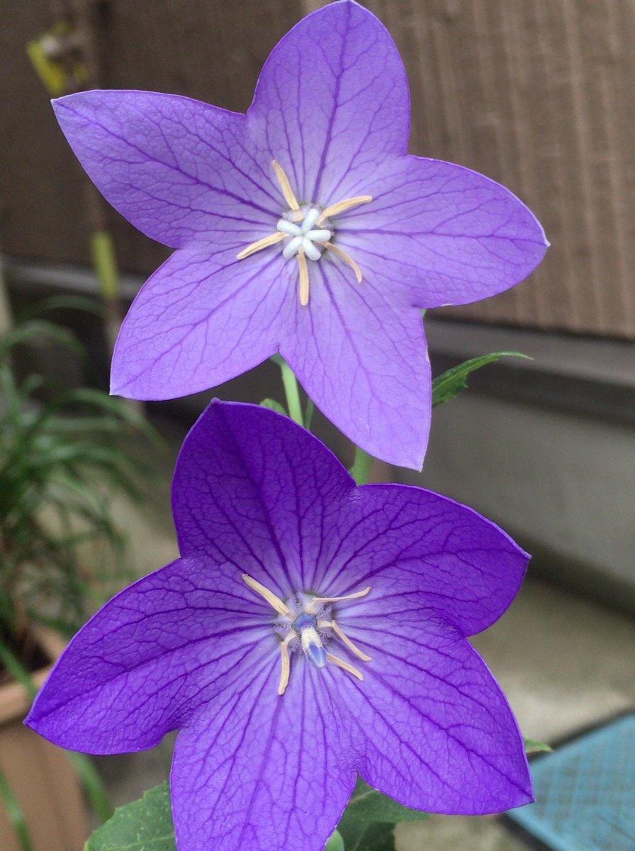 花 言葉 桔梗 ケヤキの花言葉 花の特徴は?建築素材になるの? 🍀GreenSnap(グリーンスナップ)