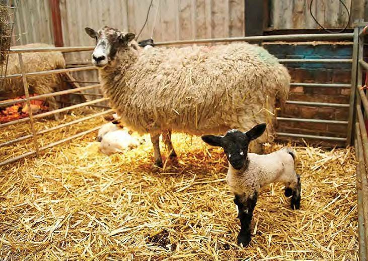 Isolating sick animals from healthy ones prevents disease from spreading - do you have isolation pens ready? #lambing17 #lambing365<br>http://pic.twitter.com/Z1WaRLIZ9J