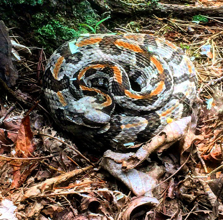 Our crews came close to this Timber Rattlesnake while working on a forestry management project in Northern GA. #rattlesnake #EarthBalance1<br>http://pic.twitter.com/m3FqZa2YoY