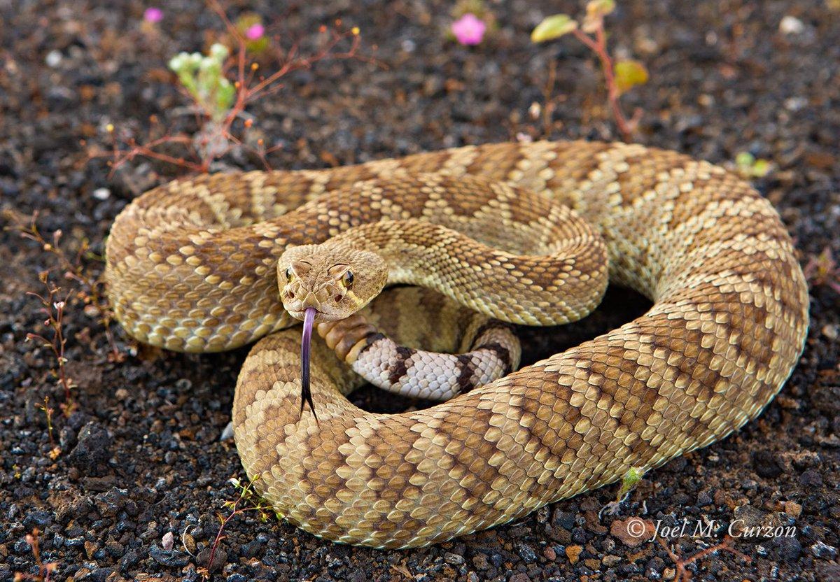 Mojave rattlesnake (Crotalus scutulatus). Sonora, Mexico. #rattlesnake #wildlife #southwest<br>http://pic.twitter.com/lFfTbxNBg1