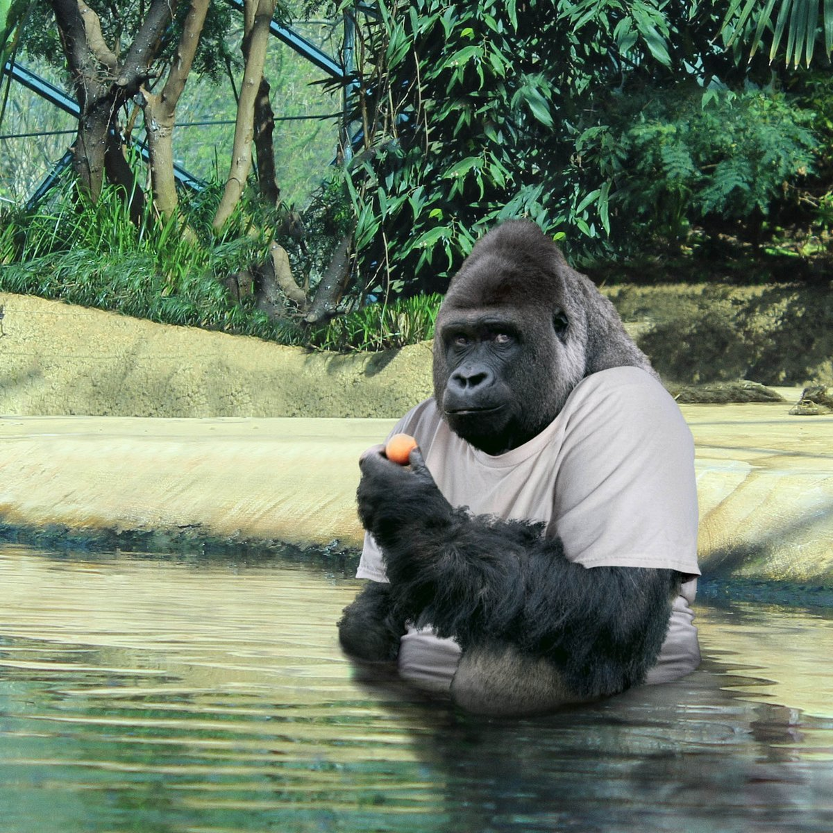 What caused a proud alpha-male gorilla to lose all his confidence? Watch and find out: trib.al/63R757O