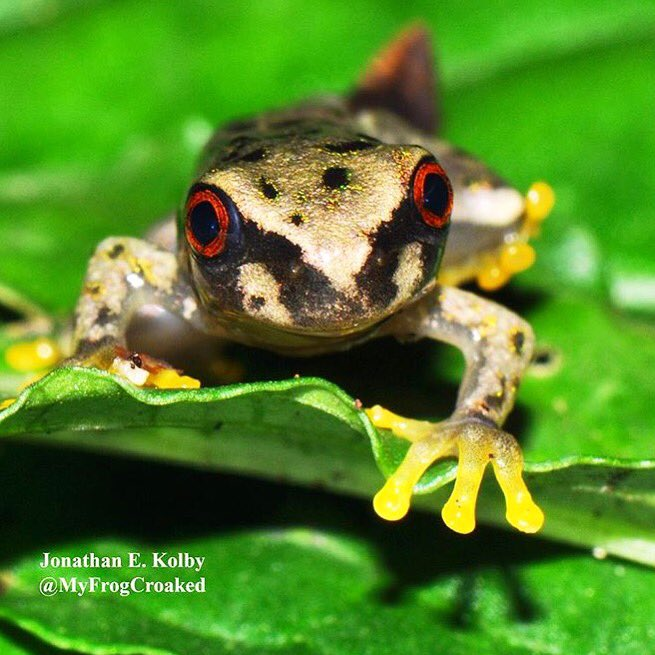 I just arrived in #Honduras with @HondurasARCC #frog rescue team! Excited for a frog-filled week in the #rainforest!  http://www. frogrescue.com/about/  &nbsp;  <br>http://pic.twitter.com/gXez6lTk53