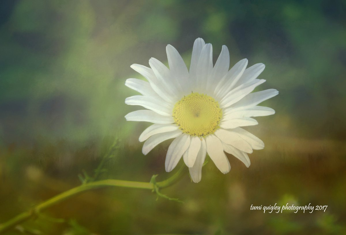 Daisies Don&#39;t Tell  https:// tami-quigley.pixels.com/featured/daisi es-dont-tell-tami-quigley.html &nbsp; …  #WednesdayWisdom #daisy #LehighValley #DLTrail #love #prints #art #gifts #decor #greetingcards <br>http://pic.twitter.com/mYIMPjwVAZ