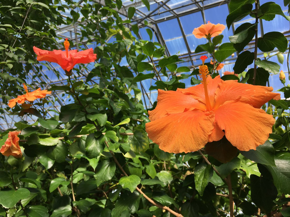 Rbge On Twitter Hibiscus Lae Orange Flowering In The Lowland