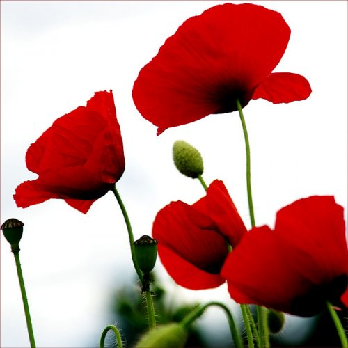 Love poppies  #fleur #coquelicots<br>http://pic.twitter.com/8DlN8bhpHU