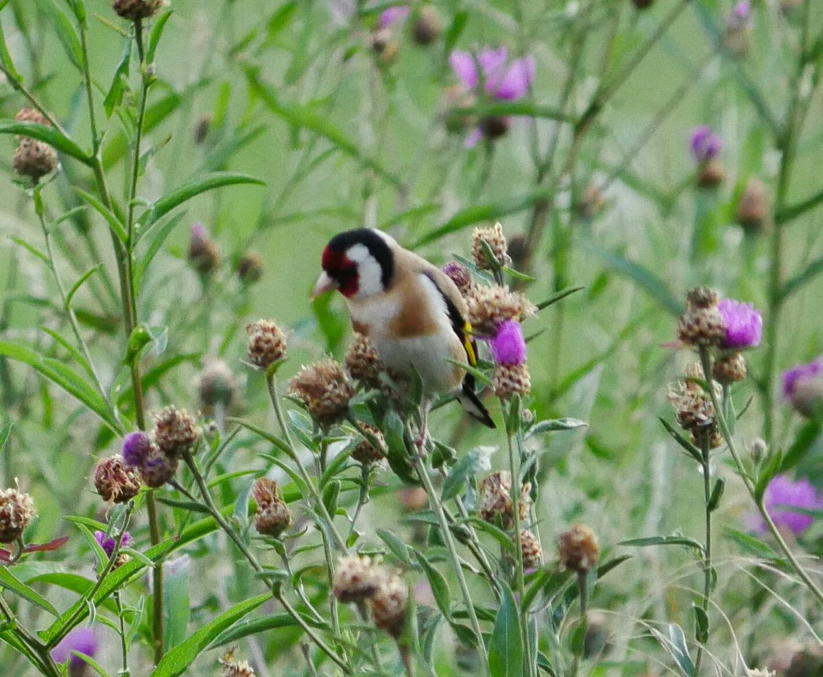 Look my hubby made some nice pics of #goldfinches today, thank you @decay23  #distelfink #stieglitz<br>http://pic.twitter.com/8oVPR8MIp3