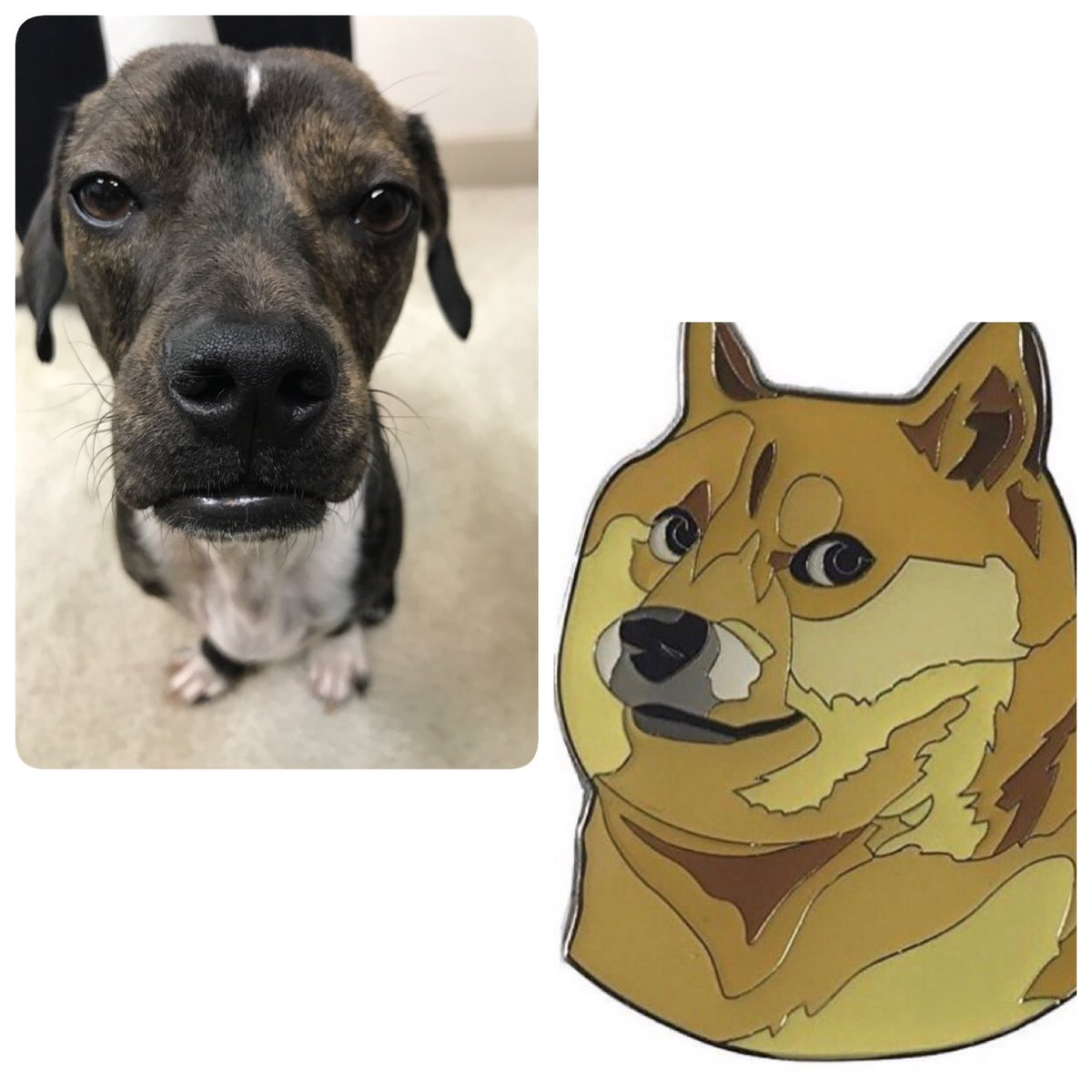 *DOGE NOT AMUSED* *PERFECT PINS*      #doge #dogememe #shibainu #dachshund #memes #enamel pins #lapelpins #pins   https://www. amazon.com/gp/aw/d/B06XS8 YW39/ref=mp_s_a_1_1?ie=UTF8&amp;qid=1500487616&amp;sr=8-1&amp;pi=AC_UL420_SR280,420_QL65&amp;keywords=doge+pin &nbsp; … <br>http://pic.twitter.com/cptrVKHebH