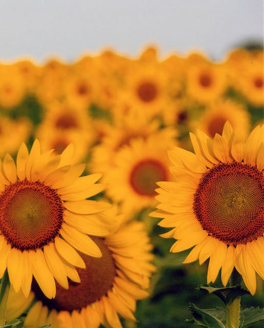 #Sunflowers Ready to Bloom at McKee-Beshers in @MontgomeryCoMD - 30 Acres Expected to Peak Late July to Early August  http:// ow.ly/1Del30dLaIO  &nbsp;  <br>http://pic.twitter.com/up2YzqjhAy