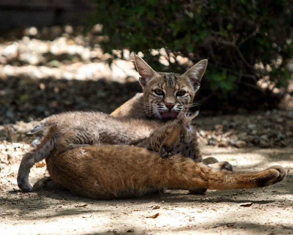 Arizona Game and Fish offers protective tips after man bitten by rabid bobcat https://t.co/EjH5SfNc4P