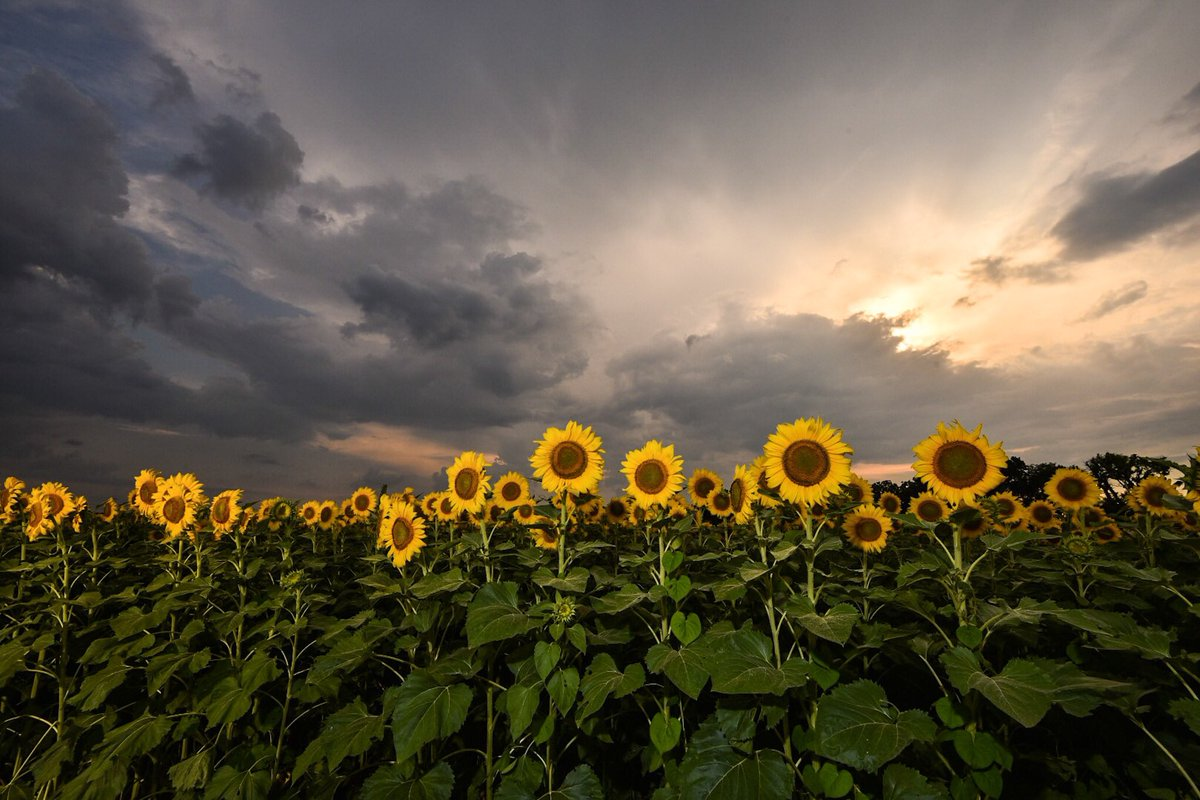 #sunflowers @Bateyfarms in Murfreesboro at #sunset yesterday. Rain held off. Unique place to take family photos! @simpsonwhnt @spann #nikon <br>http://pic.twitter.com/IEgMosNLXu