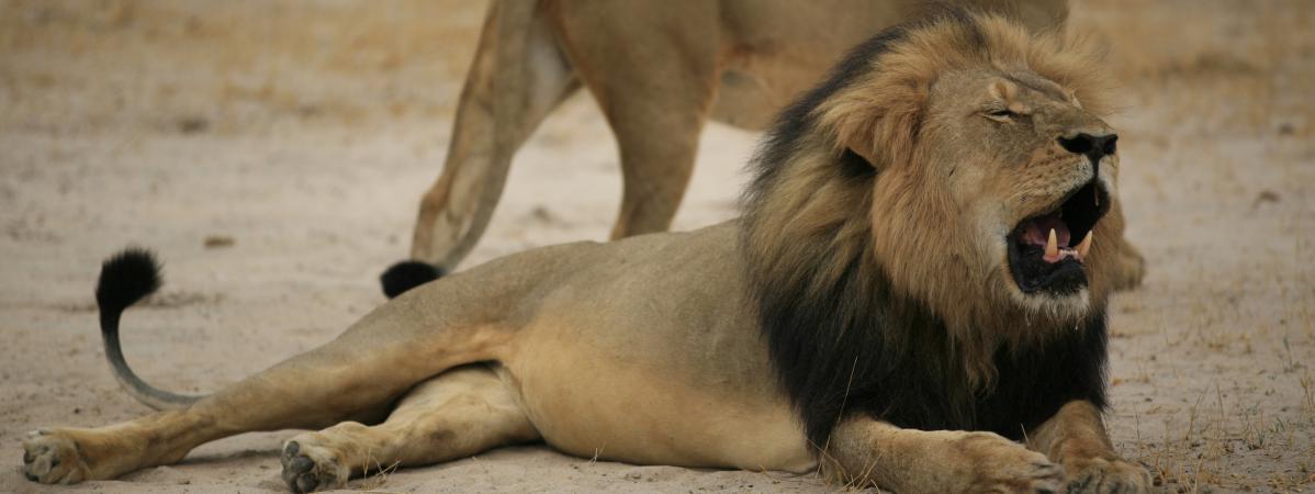 Xanda, le fils de Cecil le lion, à son tour tué par des chasseurs au Zimbabwe https://t.co/1WLJjPiZIM