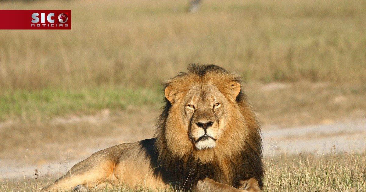 Filho do leão Cecil também foi abatido por um caçador https://t.co/GT2...