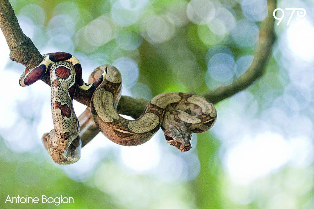 Boa constrictor par Antoine Baglan.  http://www. 97px.fr/photos/boa-con strictor/ &nbsp; …  #boa #constrictor #serpents #boidae #forêt #guyane #canon #eos #7d<br>http://pic.twitter.com/zEOaCUuWst