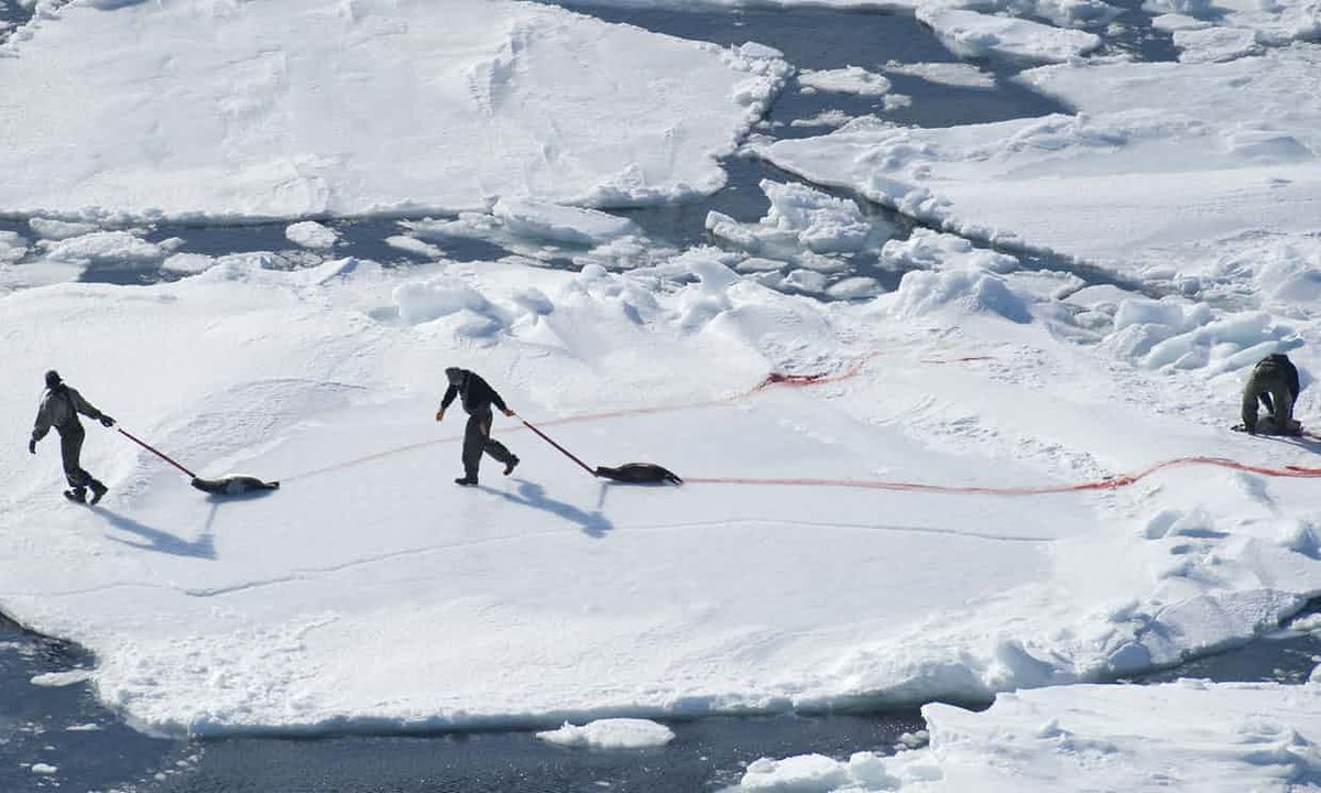East Coast #Canadian hunters like to bash in the skulls of helpless baby seals. Do you support this?? #OpNo2Fur<br>http://pic.twitter.com/Tt7xNQZY7e