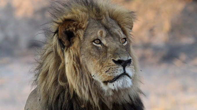 Son of Cecil the Lion killed in Zimbabwean hunt https://t.co/hU25ulhwmZ