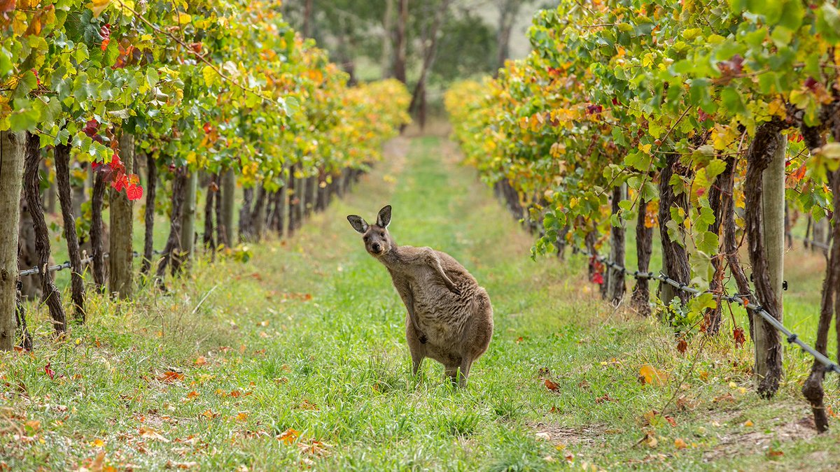 Australia&#39;s top 100 red wines have been revealed by @rayjordan54 -   https:// thewest.com.au/news/wa/romant ic-allure-to-top-class-margaret-river-red-ng-b88539043z &nbsp; …  #wine #winelover <br>http://pic.twitter.com/oLxCESssRr