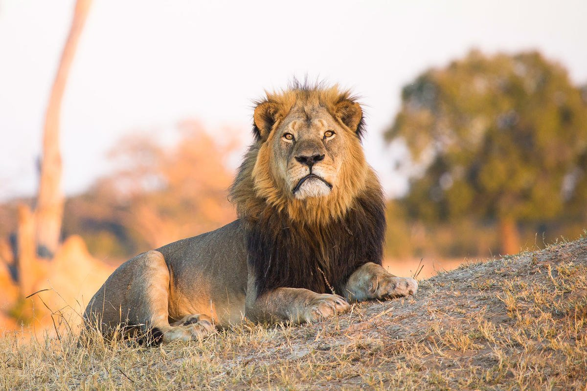 Son of Cecil the Lion shot by trophy hunter two years after his father's controversialdeath