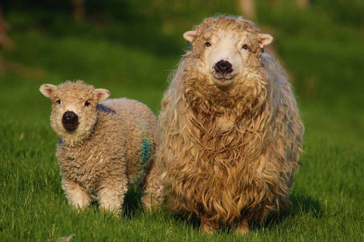 Thank you @PCSO6386 for sending in this lovely picture of a Grey Faced Dartmoor family, its our #SheepOfTheWeek.  #sheep365 #Wool #Dartmoor<br>http://pic.twitter.com/hhBHJtf7vy