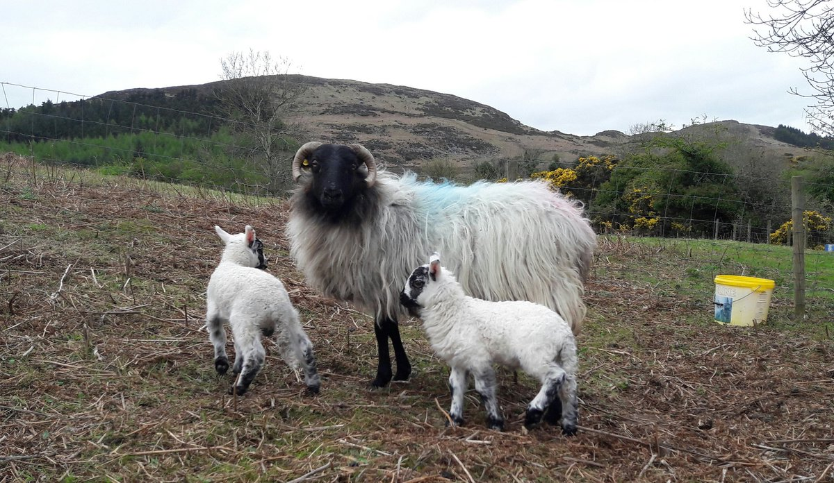 100 day old lambs. Pics few days old and just before weaning.  Hill reared, can&#39;t ask for much better!   #sheep365 <br>http://pic.twitter.com/vwCqItaNt1