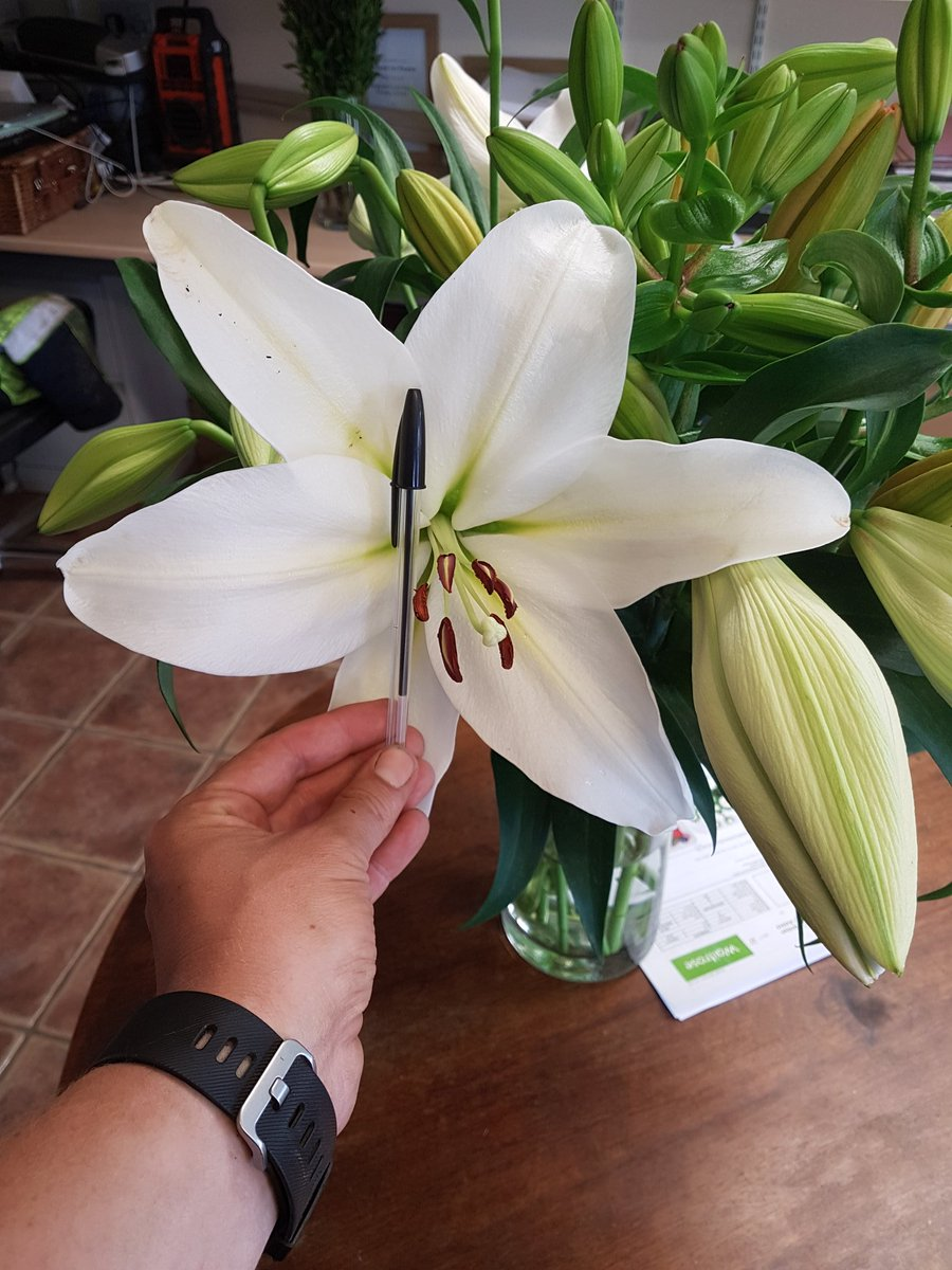 Collison cut flowers on twitter now thats a lily bud gizmo collison cut flowers on twitter now thats a lily bud gizmo making an impact in asda stores now biro and a fat farmers hand for scale izmirmasajfo
