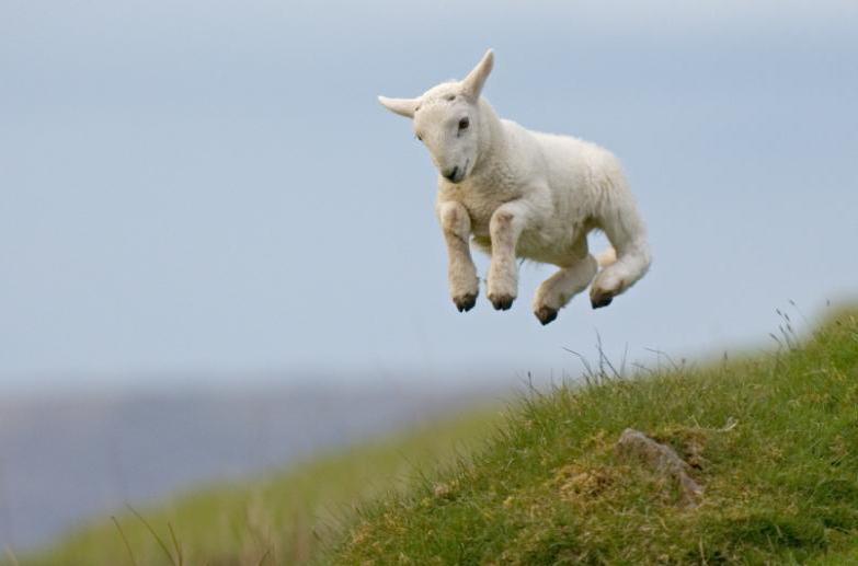 #RT if #ewe have that #FridayFeeling? #Sheep365 @Sheep_365 @sheep_farmers @natsheep<br>http://pic.twitter.com/z4OLEPSsAs