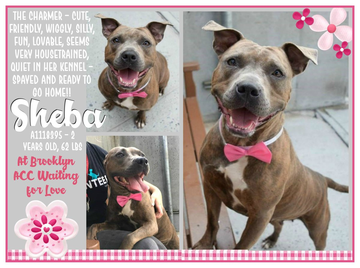 SHEBA  http:// nycdogs.urgentpodr.org/sheba-a1118395/  &nbsp;   #NYC KILL LIST FRIENDLY YOUNG GIRL LOVE BELLY RUBS VERY SWEET WELL BEHAVED ABANDONED HELPDOGS@URGENTPODR.ORG <br>http://pic.twitter.com/mnkyNPiPgl