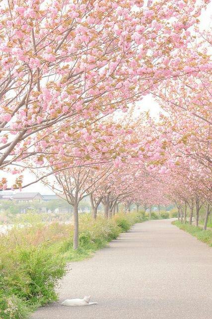 Cherry Blossoms   #แจกรูป #แจกภาพ #แจกดิส  #แจกวอลเปเปอร์ #แจกวอล #แจกวอลโฟน #wallpaper <br>http://pic.twitter.com/dwDBsvhQ3s