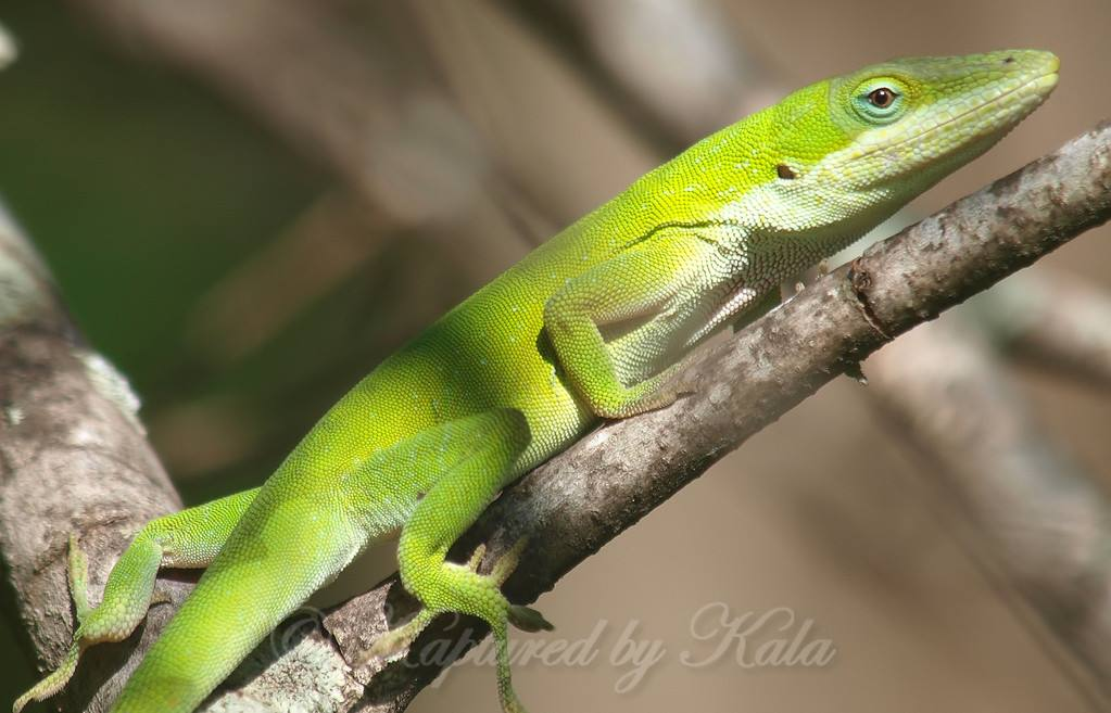 Surprise Encounter Green Anole(Anolis carolinensis)  http://www. kapturedbykala.com/Animals/i-F5Hs 5ZH &nbsp; …  #WhiteRockLake #lizard #reptiles #herps #Critters #anoles #green<br>http://pic.twitter.com/hoeDTEh3YR
