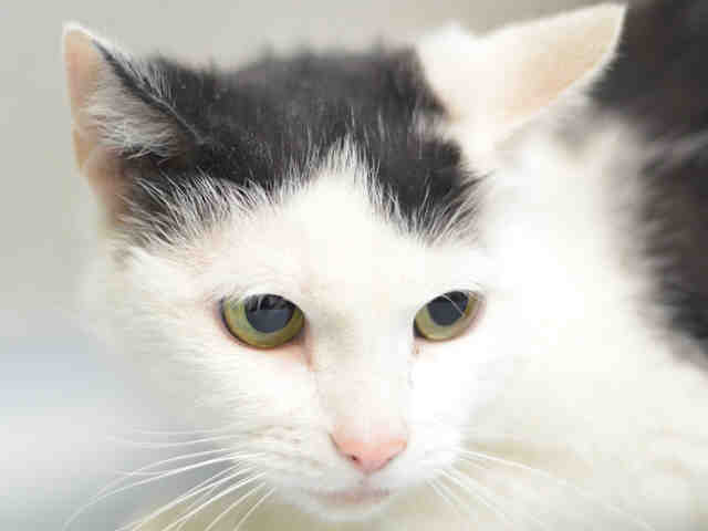 SWEET PETITE ETHEREALLY BEAUTIFUL LULU WAS SPAY ABORTED AT #NYC #ACC &amp; NOW #DEATHROW!  SAVE HER!  #NYC #cats  http:// nyccats.urgentpodr.org/lulu-a1116818/  &nbsp;  <br>http://pic.twitter.com/OS2ufwBeGS